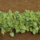 Organic Heirloom Arugula Salad Green 300 Seeds Free Ship