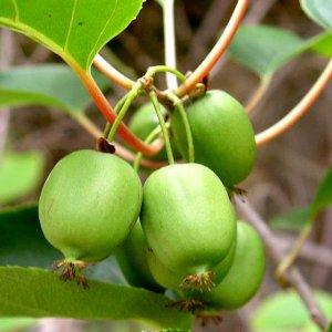 Kiwi Hairless Mini Fruit seeds Actinidia Arguta Issai 5 Seeds