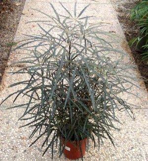 Dizygotheca Elegantissima-Spider Aralia plant 10 seeds