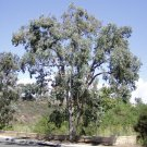 Eucalyptus polyanthemos-Silver Dollar Tree $3.99 20+ seeds
