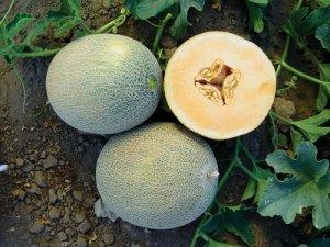 Ananas Melon 20 seeds $3.99