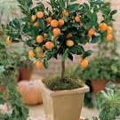 Citris Mitis-Calamondin Minature Orange Tree-5 Seeds