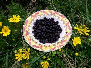 Highbush Blueberry 75 Seeds Organic $4.29