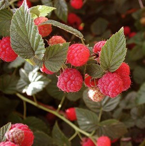 Organic Red Raspberry 25 seeds $4.79
