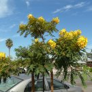 Golden Medallion Tree-Cassia leptophylla 10+ seeds