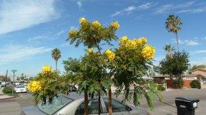 Golden Medallion Tree-Cassia leptophylla 10+ seeds