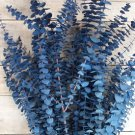 Baby Blue Eucalyptus Tree 25+ seeds