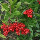 Christmas Berry-Toyon-10+ Seeds