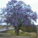 Blue Jacaranda Tree 20+ Seeds