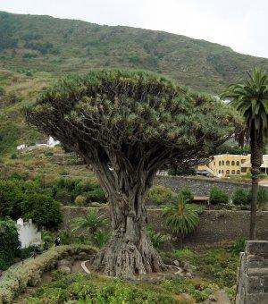 Dragon Tree-Dracaena draco-10+ Seeds