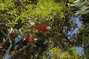 Kaffir Plum Tree-5 Seeds
