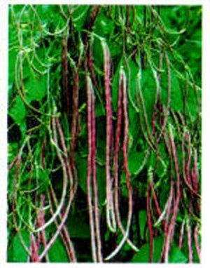 Mosaic Yard Long Bean-25+ Seeds
