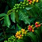 Kona Coffee Bean 10 Tree Seeds -Coffee-Gourmet-Tropical