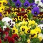 Swiss Super Giant Pansy 100+ Seeds