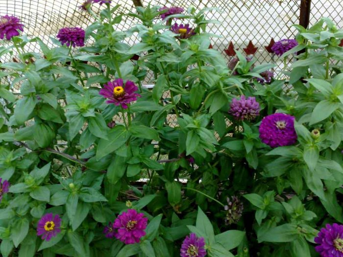 how to grow zinnia plants from seeds