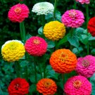 Lilliput Zinnia Flower Mix 200+ Seeds