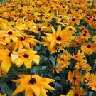 Black-Eyed Susan Flower 1,000+ Seeds $3.99 Free Ship