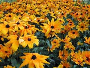 Black-Eyed Susan Flower 1,000+ Seeds $3.99 Free Ship