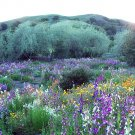 California Wildflower Seed Mix 1,000+ Seeds