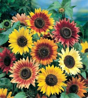 Autumn Beauty Sunflower 100+ Seeds