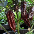 Rare Black Habanero Hot Pepper 10+ Seeds