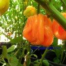 Rare Roatan Pumpkin Habanero 10+ Seeds