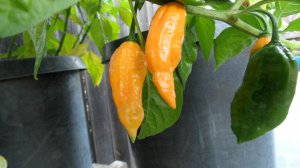 Rare Yellow Bhut Jolokia Hot Pepper 10+ Seeds