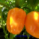 Congo Yellow Trinidad Hot Pepper 10+ Seeds