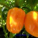 Congo Yellow Trinidad Hot Pepper 10+ Seeds