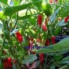 Rare Pinquita De Mono Hot Pepper 10+ Seeds