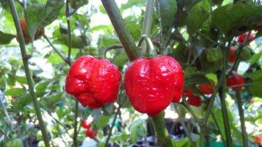 Moruga Scorpion Hot Pepper 10+ Seeds