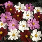 Cosmos Sensation Mixed Seed -GREAT VALUE!*CLEARANCE*