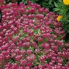 Alyssum Royal Carpet Flower Seed -GREAT VALUE!*CLEARANCE*