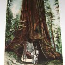 "Vintage Postcard ""Big Trees Yosemite Valley Cal""  early 1900's"