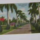 Vintage Postcard Stately Palms & Australian Pines Florida