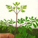 1 Moringa Oleifera seedling