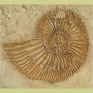 RAISED PLASTER STENCIL LARGE FOSSIL SHELL. STURDY WALL STENCIL