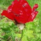 Iranian Poppy (Papaver bracteatum)