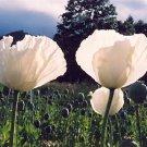 Persian Poppy (Papaver somniferum)