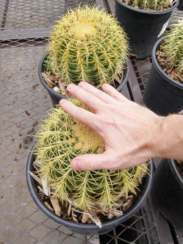 """Echinocactus grusonii """"Golden Barrel"""" 8-10"""" Diameter, Bare Root"""