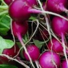 Purple Plum Radish Heirloom Seeds-French Variety-CONTAINERS