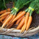 Danvers Half-Long Heirloom Organic Carrot Seeds**SOLD OUT**