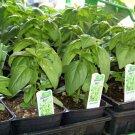 Genovese Basil Seeds-**Pesto** ORGANIC