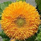 Teddy Bear Sunflower Seeds-Midget!