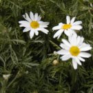 German Chamomile Seeds-Wonderful Tea & Great for Pest Control!