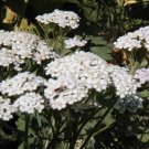 White Yarrow Seeds-Birds, Butterflies & Bees/Herbal Medicine