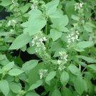 Sweet LEMON BASIL Seeds- ( 'Mrs Burns') ORGANIC