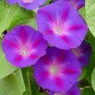 Heirloom-Grandpa Ott's Morning Glory Seeds **Cottage Favorite**