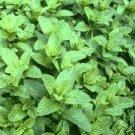 Peppermint Heirloom Seeds-Fresh Mint Scent!