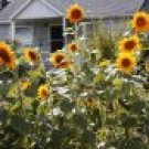 Sunflower Seed Collection-Magnet for Bees, Buttterflies & Birds